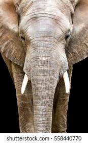 Closeup of large African Elephant facing forward and center. Isolated on black.