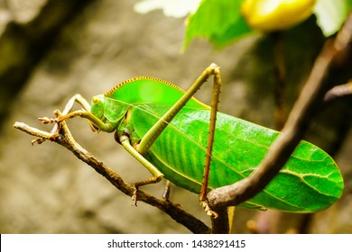Closeup of a large bright green giant Katydid
