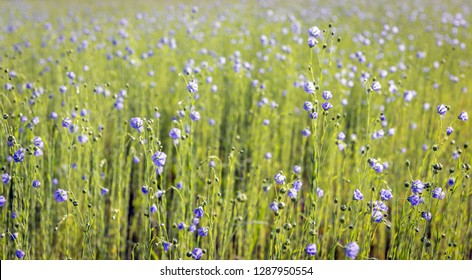 Closeup of a large field with blue blooming Linum usitatissimum or common flax plants for the purpose of the extraction of linseed oil.