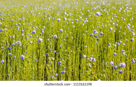 Closeup of a large field with blue flowering Linum usitatissimum or common flax plant for the purpose of the extraction of linseed oil.