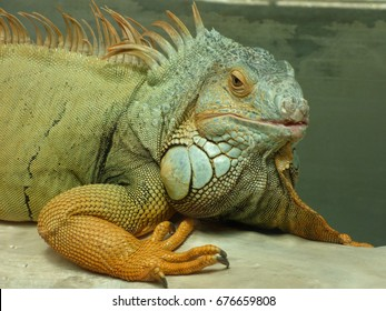 Close-up of a large green iguana (Latin name Iguana iguana). Iguanas are not native to Florida and are considered an invasive species in USA.