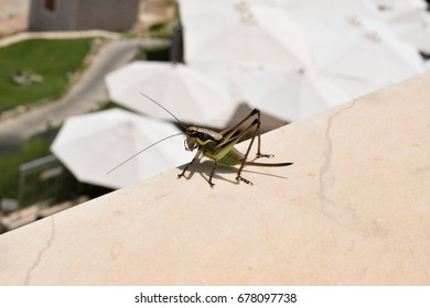 A close-up of a large locust on a wall in Croatia