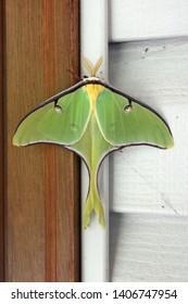 Close-up of a large luna moth, scientific name Actias luna