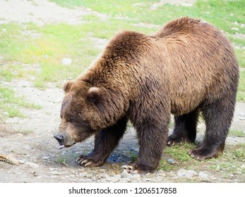 Closeup of a Large Male Grizzly or Brown Bear