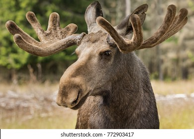Closeup of a large male moose buck standing in sunlight in a forest in Sweden