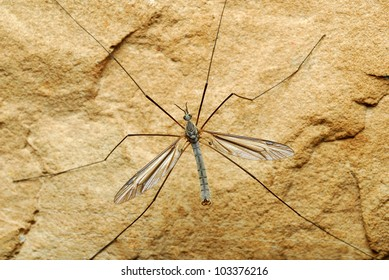 Close-up of large mayfly on rock