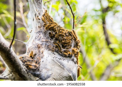 close-up of a large oak processionary moth nest in procession on an oak tree