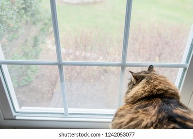 Closeup of large, overweight, fat female maine coon calico cat lying on chair inside, indoors, indoor, house, home room windowsill, sill, looking down, out, through window, outside, bird watching