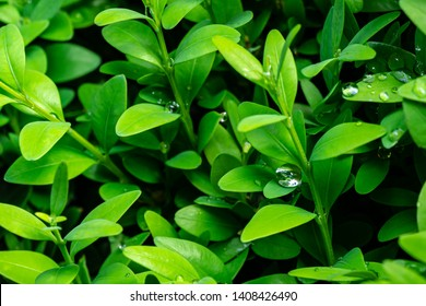Close-up of large raindrop splashed in bright young green foliage of boxwood Buxus sempervirens as the perfect backdrop for any natural theme. Boxwood wall in natural conditions. Selective focus