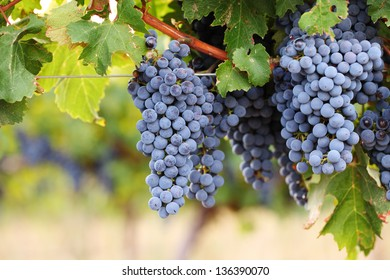 Close-up of large ripe bunches of red wine grapes on vine against blurred vineyard background.
