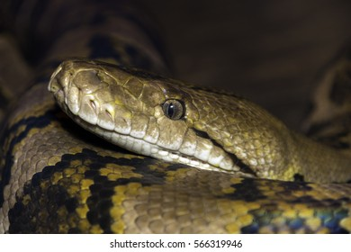 Closeup of large snake with detail of eye and mouth, curled around itself