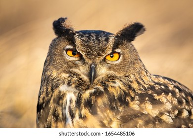 Close-up of large wild owl looking into camera with intense orange eyes. Detailed portrait of a european eagle-owl, bubo bubo, observing in nature at sunrise.