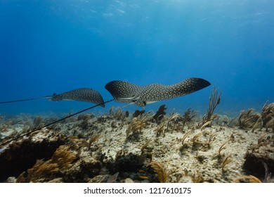 Closeup of large wings of two spotted sting rays swimming peacefully ahead of scuba diver