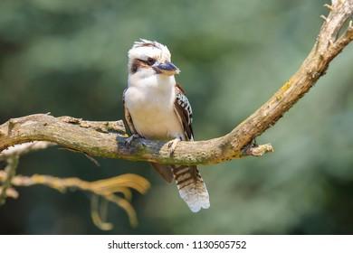 Closeup of a laughing kookaburra, Dacelo novaeguineae, kingfisher bird perched on a branch