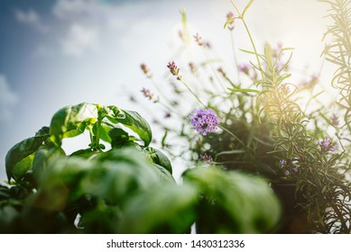 close-up of lavender, basil and rosemary plants on patio or balcony against blue summer sky