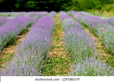 Closeup of a lavender bush in bloom