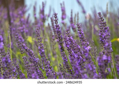 Close-up of a lavender field in bloom