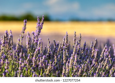 Close-up of lavender flower on field in Provence, France