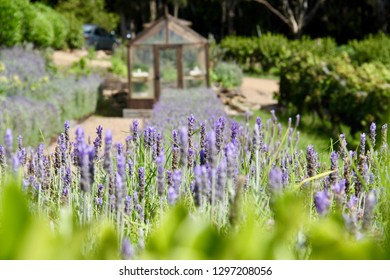 Closeup of lavender with greenhouse at Mudbrick Vineyard on Waiheke Island, Auckland, New Zealand