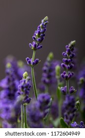 closeup of a lavender plant in bloom