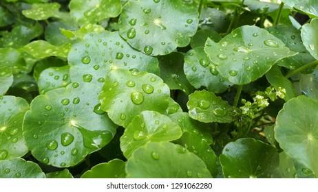 Close-up leaf of Centella Asiatica, Pegagan, Asiatic Pennywort, Gotu Kola with water drop. Herbal medicine. Fresh nature natural green background.