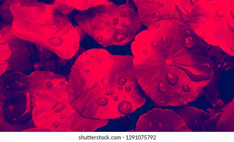 Close-up leaf of Centella Asiatica, Pegagan, Asiatic Pennywort, Gotu Kola with water drop. Herbal medicine. Red duo-tone. Nature natural background.