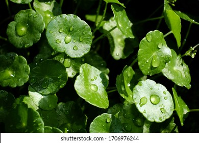 Close-up leaf of Centella Asiatica, Pegagan, Asiatic Pennywort, with water drop. Herbal medicine. Fresh nature natural green background.
