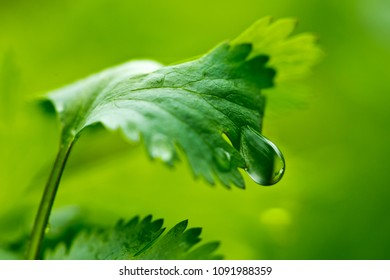 A closeup of a leaf of coriander (also known as cilantro or Chinese parsley) with water drops