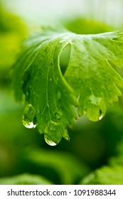 A closeup of a leaf of coriander with water drops