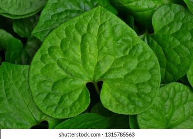 It is a close-up of the leaf of Futaba Aoi.  - Shutterstock ID 1315785563