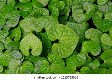 It is a close-up of the leaf of Futaba Aoi.  - Shutterstock ID 1315785566