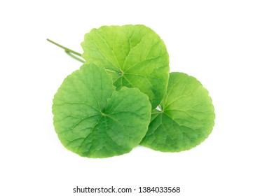 Closeup leaf of Gotu kola, Asiatic pennywort, Indian pennywort on white background, herb and medical concept