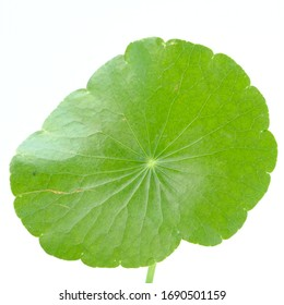 Closeup leaf of Gotu kola, Asiatic pennywort, Indian pennywort on white background, herb and medical concept, selective focus