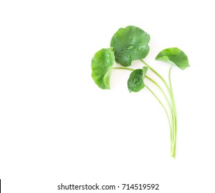 Closeup leaf of Gotu kola, Asiatic pennywort, Indian pennywort on white background with water drop, herb and medical concept