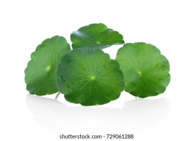 Closeup leaf of Gotu kola, Asiatic pennywort, asiatic leaf isolated on white background
