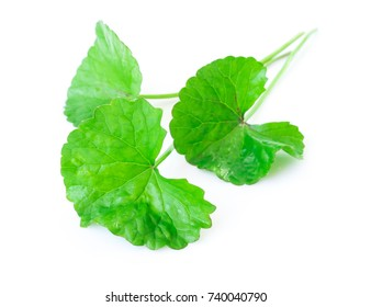 Closeup leaf of Gotu kola, Asiatic pennywort, Indian pennywort on white background with water drop, herb and medical concept, selective focus