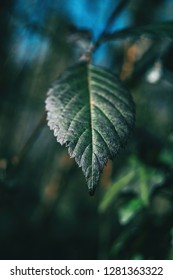 Close-up of a leaf of rubus ulmifolius with an unfocused background