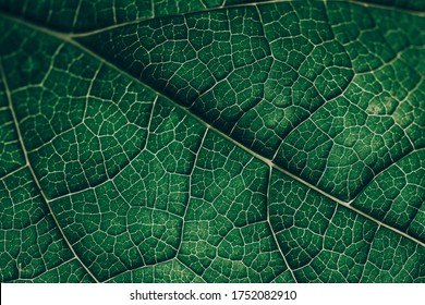 Closeup leaf texture. Green tropical plant close-up. Abstract natural floral background Selective focus, macro. Flowing lines of leaves