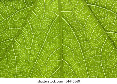 Close-up of a leaf veins of poison ivy.