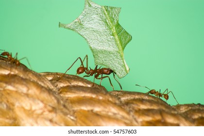 Closeup of a leafcutter ant (Acromyrmex sp.) carrying leaf piece