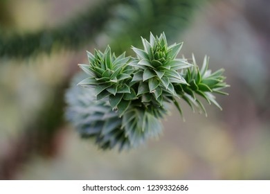 Close-up of the leaves of the Araucaria araucana (monkey puzzle tree). Macro photography of nature.