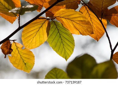 closeup of leaves of beech tree in autumn