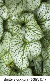 Closeup of leaves from a Brunnera macrophylla 'Jack Frost' perennial