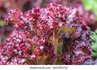 Close-up of leaves of dark red Lollo Rossa organic lettuce. Red-edged, heavily frilled leaves of lettuce in a garden bed. Selective focus, blurred background.