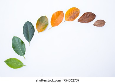 Closeup leaves in different color and age of the jackfruit tree leaves. Line of colorful dry leaves in autumn season. For environment changed concept. Top view or flat lay background and banner.