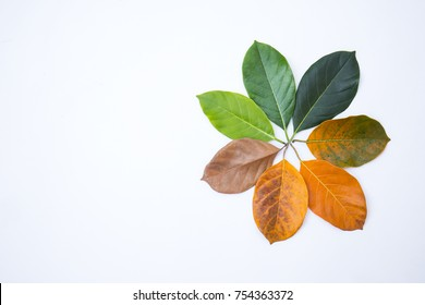 Closeup leaves in different color age of jackfruit tree leaves. Line of colorful dry leaves in autumn season, environment changed concept. Top view flatlay, Changing environment  background banner
