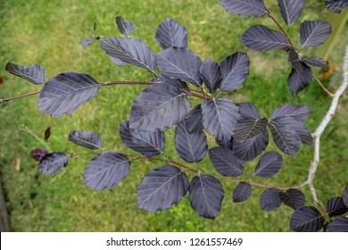 Close-up of leaves on a young Copper Beech tree