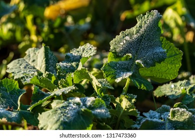 Close-up from leaves of rutabagas on a field covered with ice, selective focus