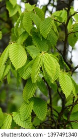 Closeup of the leaves of upright Hornbeam