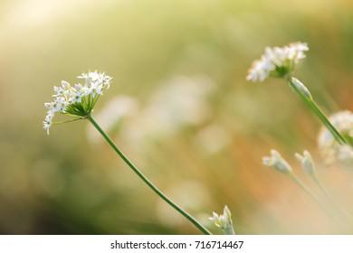 close-up leek flowers